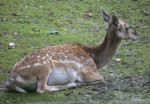 Female Persian Fallow Deer Lying Down