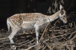 Female Persian Fallow Deer Standing