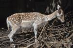 Female Persian Fallow Deer Standing