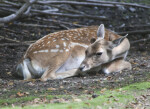 Female Persian Fallow Deer With Head Turned