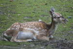 Female Persian Fallow Deer
