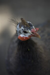 Female Turkey Head