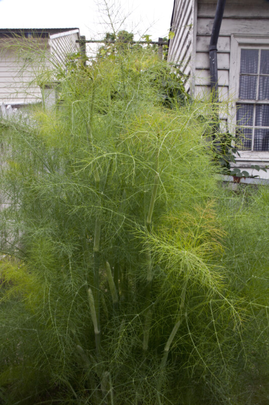 Fennel Bush at Old Economy Village