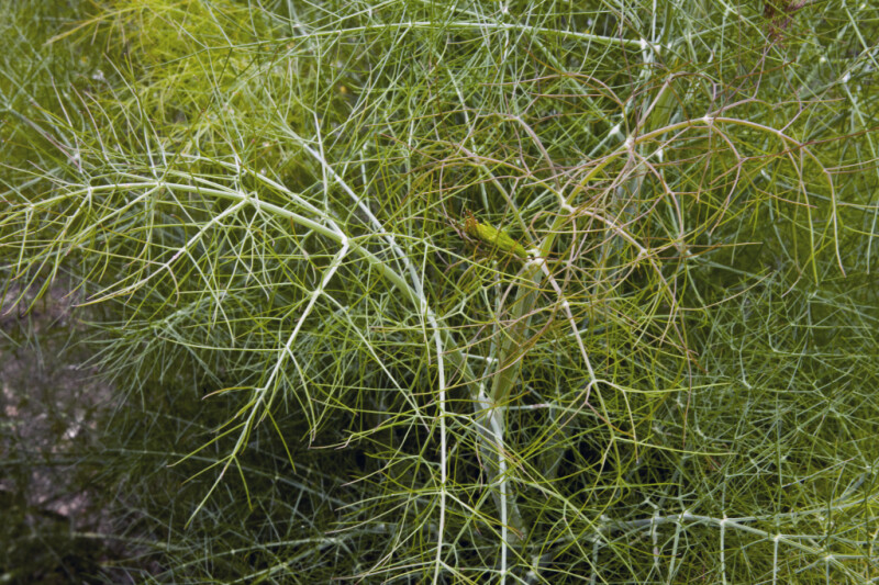 Fennel Close-Up