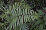 Fern Branches Amongst Other Vegetation