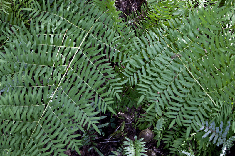 Fern Branches Pictured Along the Big Cypress Bend Boardwalk