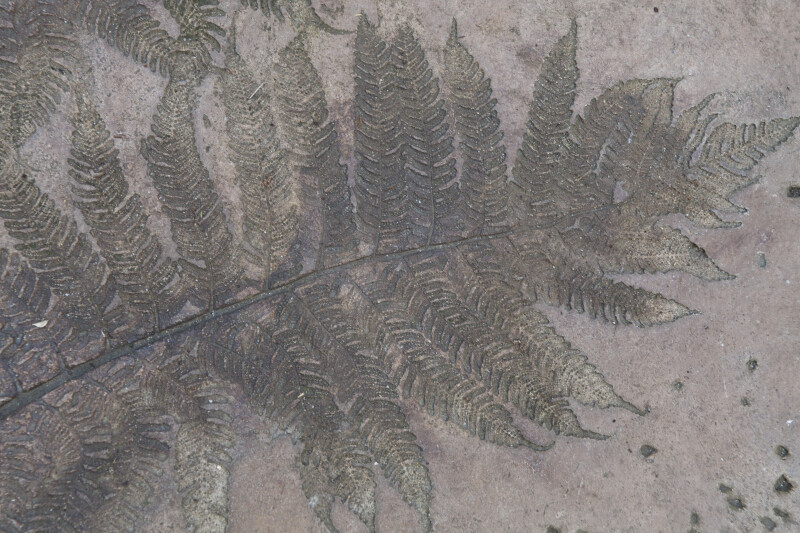 Fern Engraving