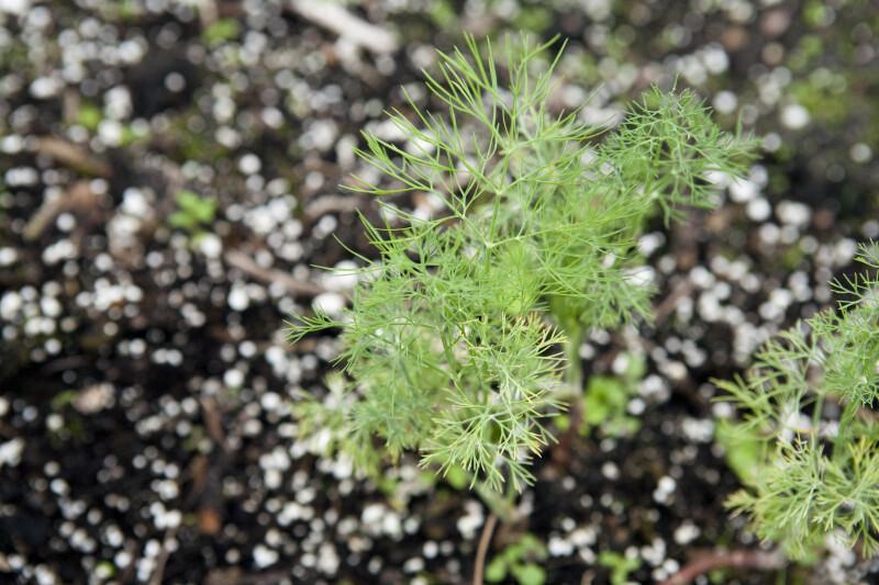Fern Leaf Dill
