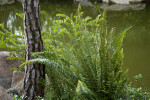 Fern near the Trunk of a Pine Tree