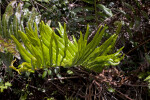 Fern with Light-Green Leaves at Mahogany Hammock of Everglades National Park