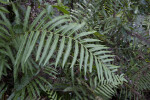 Fern with Pinnate, Serrated Leaves