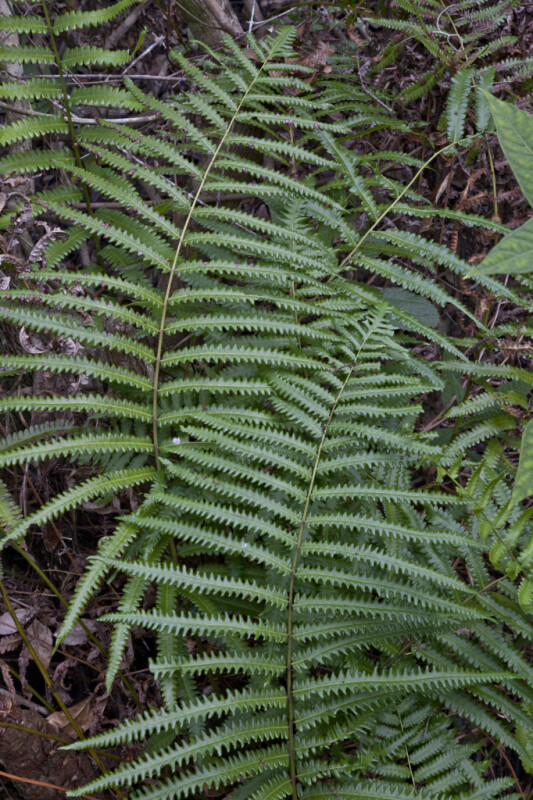 Fern with Serrated, Pinnate Leaves