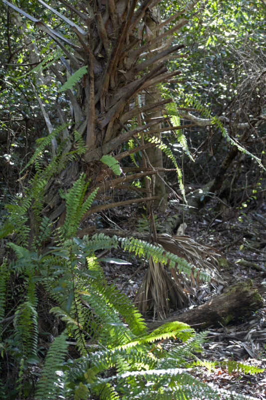Ferns and a Cabbage Palm Trunk