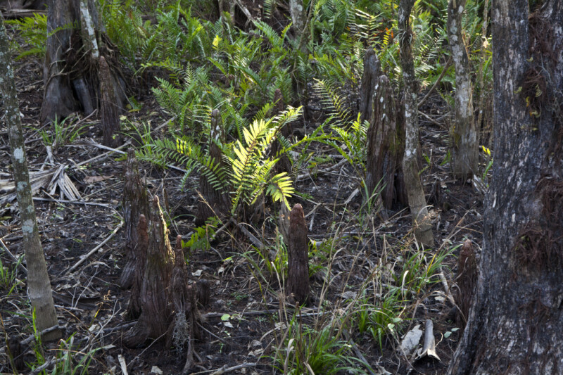 Ferns and Cypress Knees at Big Cypress National Preserve