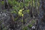 Ferns and Cypress Knees at Big Cypress National Preserve