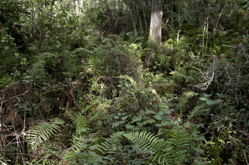 Ferns, Aroids, and Branches Along Big Cypress Bend Boardwalk