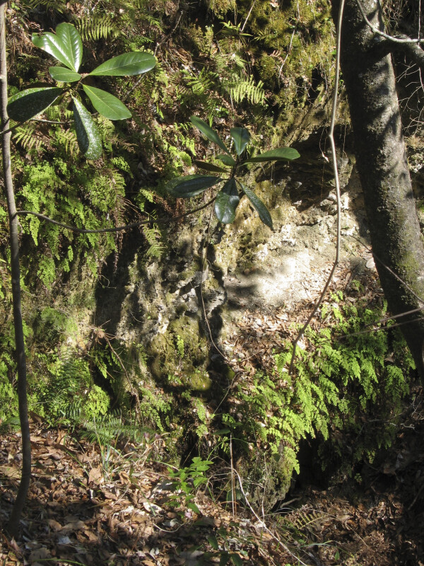Ferns at Cave Entrance