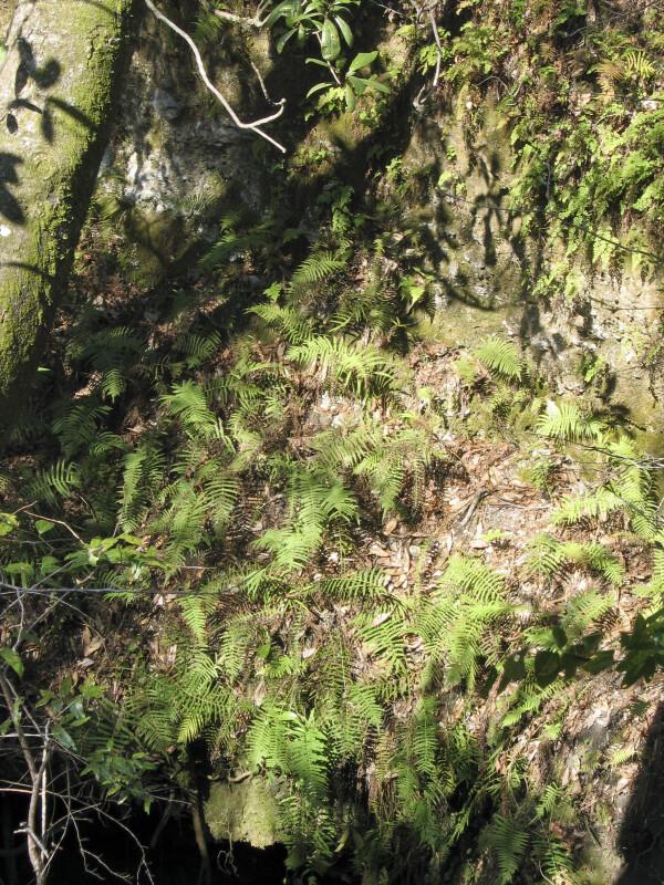 Ferns at Sinkhole