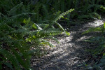 Ferns at Tree Snail Hammock of Big Cypress National Preserve