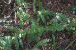 Ferns Growing Amongst Fallen Leaves and Branches