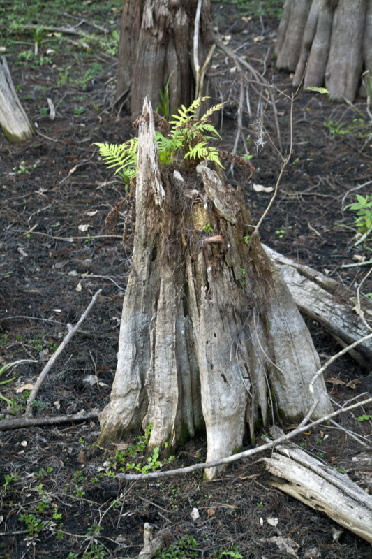 Ferns Growing out of the Top of a Cypress Knee