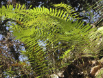 Ferns in Sun