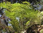 Ferns in Sun