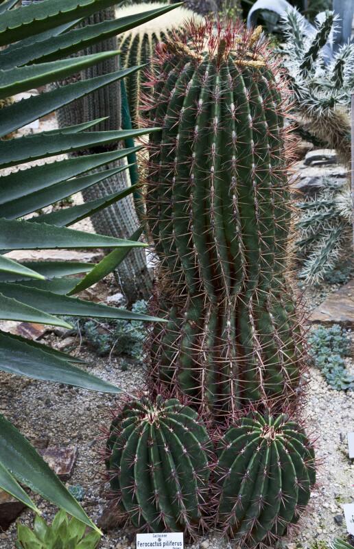 Ferocactus piliferus