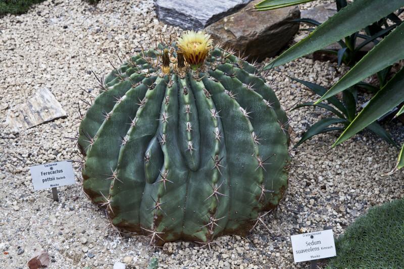 Ferocactus Pottsii