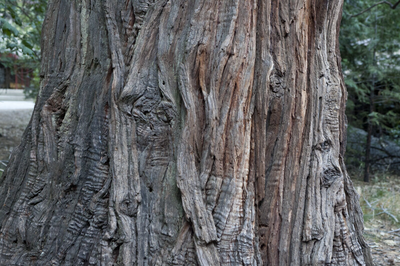 Fibrous, Gray-Brown Tree Bark