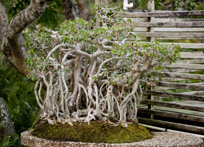 Ficus Bonsai Tree with Entangled Root System