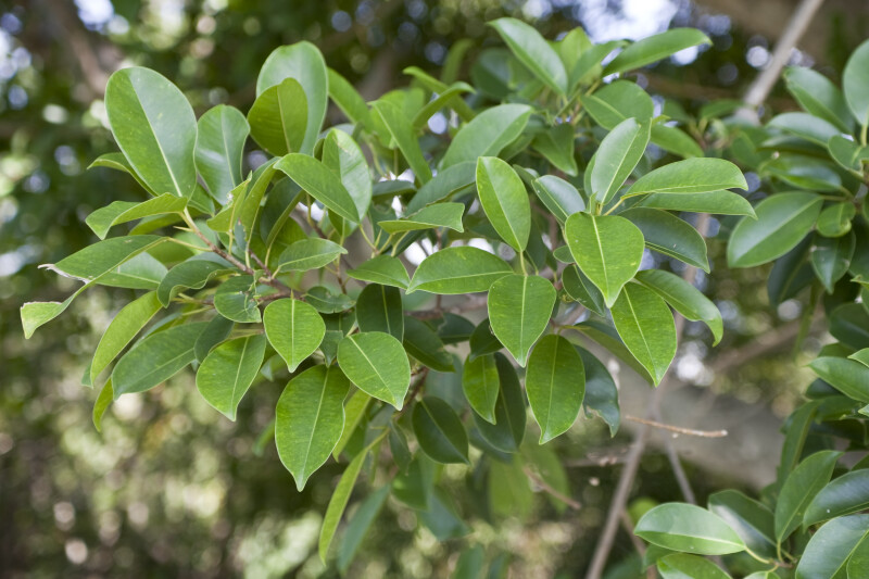 Ficus Sp. Leaves