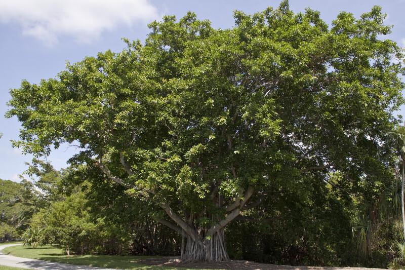 Ficus Sp. Tree