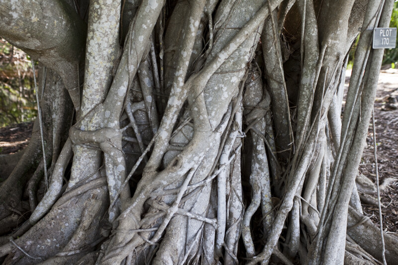 Ficus Sp. Trunk