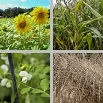 Field Crops photographs