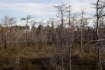 Field Full of Dwarf Bald Cypress Trees