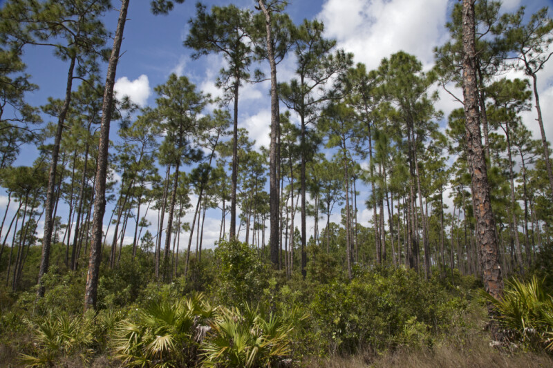 Field of Slash Pines Pictured at Long Pine Key of Everglades National Park