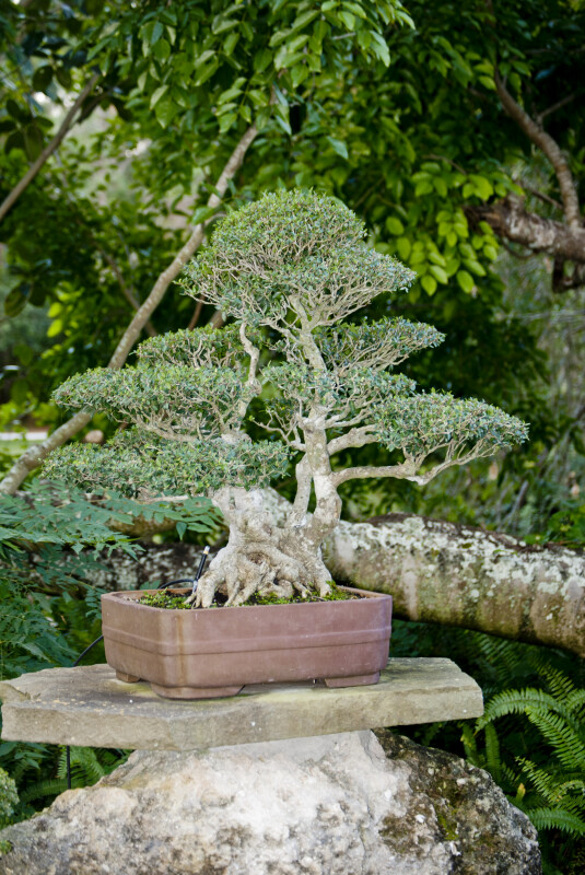 Fig Bonsai Tree at the Morikami Japanese Garden