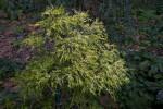 """Filifera Lemon Thread"" False Cypress"