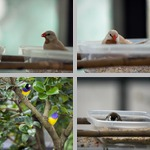 Finches photographs