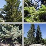 Fir Trees photographs