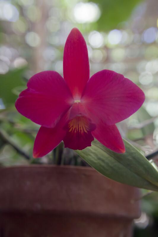 Fire Lighter Orchid Flower