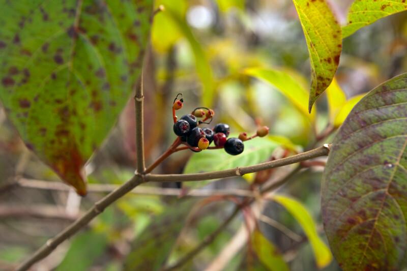 Firebush Berries