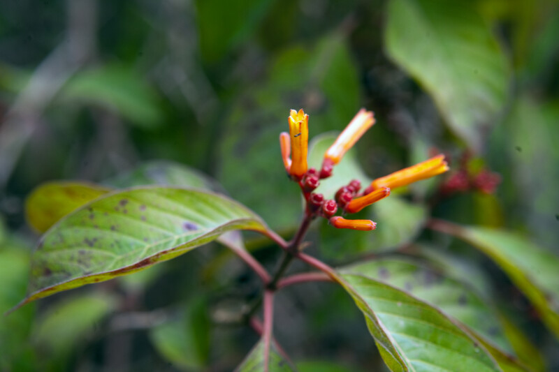 Firebush Flowers