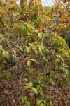 Firebush Plant