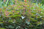 Firebush Shrub at the Kanapaha Botanical Gardens
