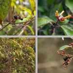 Firebushes photographs