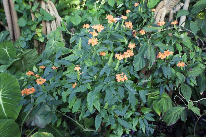Firecracker Flower Plant