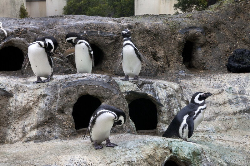 Five Penguins on Ledges