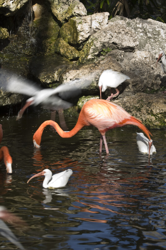 Flamingo Foraging